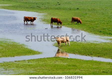 Cows on flooded farmland
