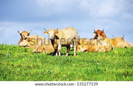 Cows on green field at Portugal