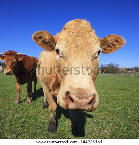 Cows on green grass and blue sky