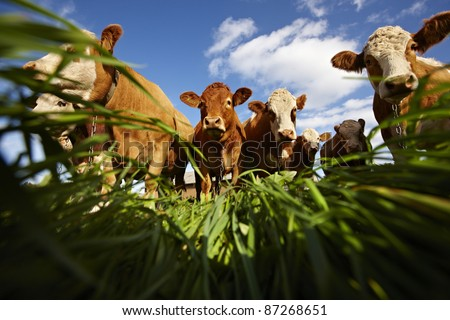 Cows on green grass and blue sky with clouds