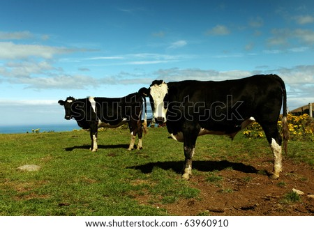 cows on green meadow against blue  sky