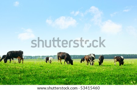 Cows on green meadow and blue sky with clouds