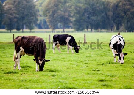 cows on meadow Foto d'archivio ©