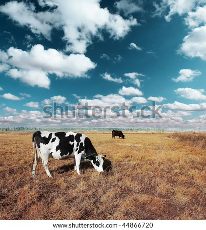 Cows on meadow with grass under blue sky with clouds