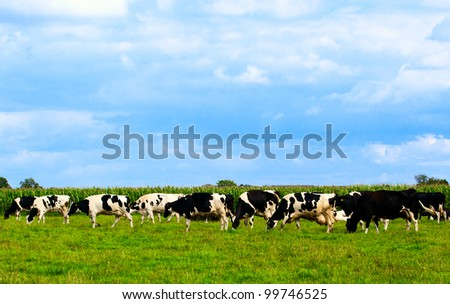 Cows on meadow with green grass.  Grazing calves.