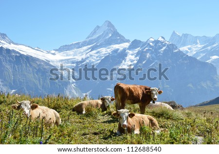 Cows on the Alpine meadow. Jungfrau region, Switzerland