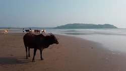 Cows on the beach in India, cows resting on a beach in Goa. Holy Indian cows resting on the sea beach