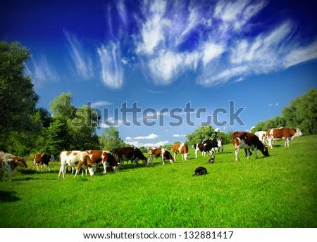 Cows on the field #132881417