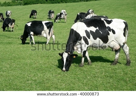 Cows on the meadow fresian in black and white females