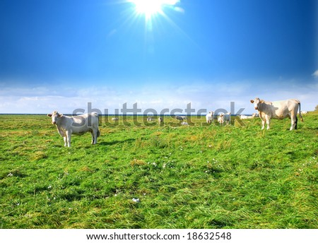 Cows on the meadow,  in a pasture,  sea and blue sky in the background