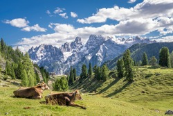 cows on the mountain pasture of Prato Piazza in the three peaks National Park in the Sexten Dolomites, south Tirol, Italy