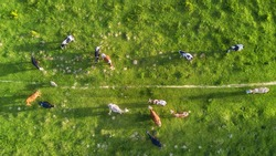 Cows on the pasture. Aerial composition on the farm