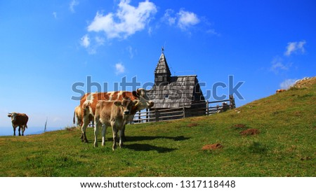 Cows on the pasture on a high mountain pasture. #1317118448