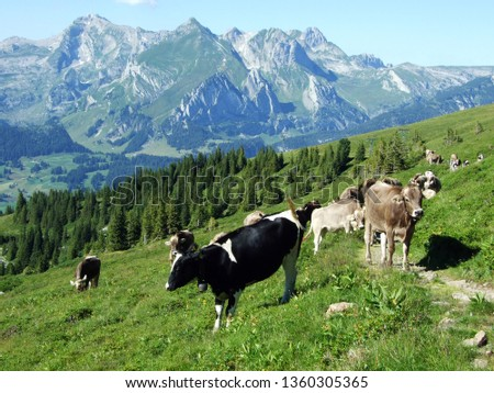 Cows on the pastures on the slopes of the Alviergruppe mountain range - Canton of St. Gallen, Switzerland #1360305365