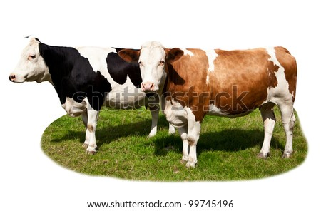 Cows on white background with grass. Cow isolated at the green field