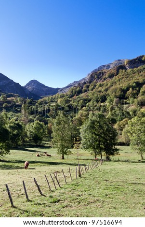 Cows pasturing and resting in Picos de Europa, Asturias (Spain)