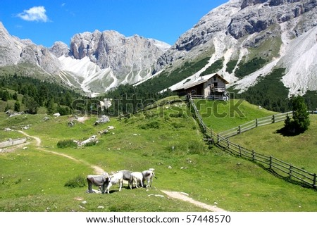 Cows pasturing near the Odle mountains, Alto Adige, Italy