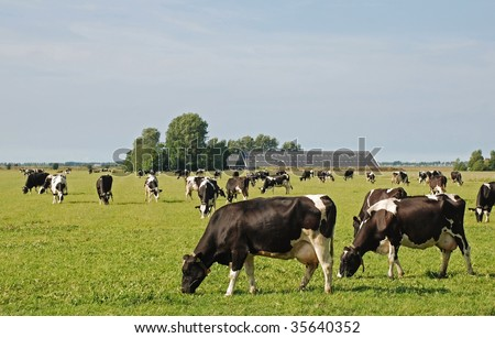 Cows peacefully grazing in their flat meadow on reclaimed land in the Netherlands