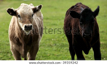Cows portrait isolated on green.
