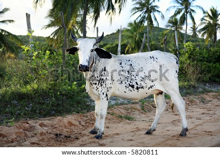 cows rice plantation field in bahia state brazil