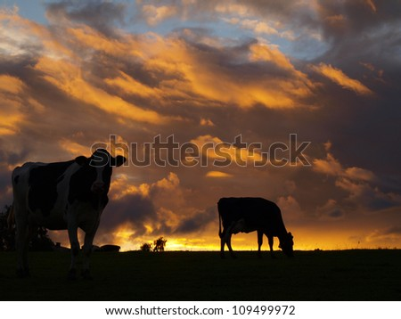cows silhouette in evening sun