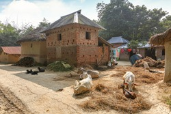 Cows sitting on the dried hay with view of brick houses and unpaved road at an Indian village at Bolpur West Bengal