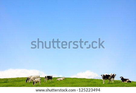 cows standing on a pasture and blue clear sky