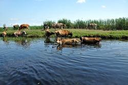 Cows taking a bath in the river. Danube delta, Romania