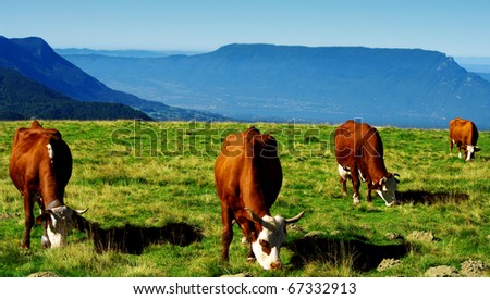 cows that graze