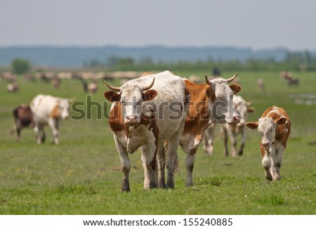 cows walk on meadow in plain land