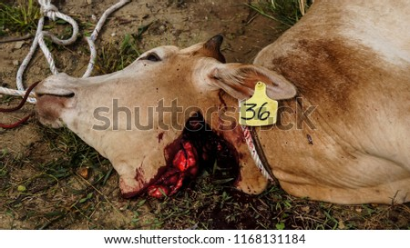 Cows were overthrown and tied in halal slaughtering part of a cow during Eid Al-Adha Al Mubarak, the Feast of Sacrifice or Qurban. #1168131184