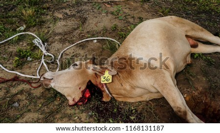 Cows were overthrown and tied in halal slaughtering part of a cow during Eid Al-Adha Al Mubarak, the Feast of Sacrifice or Qurban. #1168131187