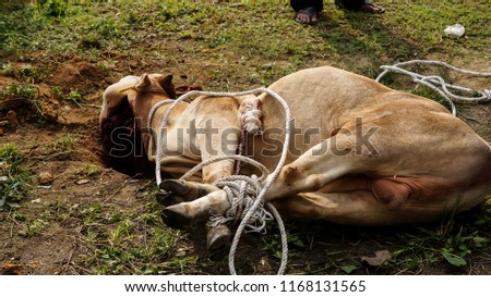 Cows were overthrown and tied in halal slaughtering part of a cow during Eid Al-Adha Al Mubarak, the Feast of Sacrifice or Qurban. #1168131565
