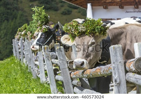 Cows with traditional decoration during the