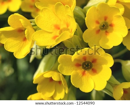 Cowslip - stock photo