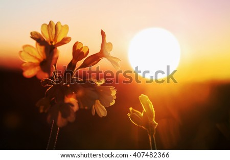 cowslip flower in romantic sunset mood, with evening sun
