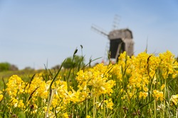 Cowslips (Primula veris) on a meadow on the swedish island of Oeland in may . In the background one of the typical small windmills of post mill type.
