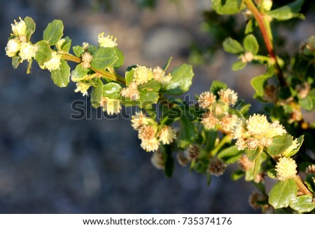 Shutterstock Coyote brush, Chaparral broom, Baccharis pilularis subsp. consanguinea, male plant, erect bush up to 3 m tall with lobed-toothed up to 3 cm long leaves pale cream subglobose male flower heads.