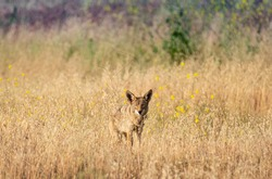 Coyote camouflaged in springtime brush