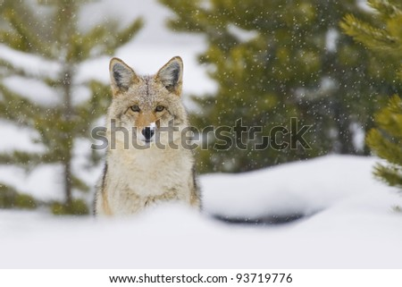 Coyote (Canis latrans) in a snow storm in Yellowstone National Park, Wyoming, USA.
