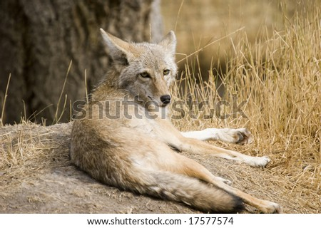 Coyote (Canis latrans) in Banff National Park Canada