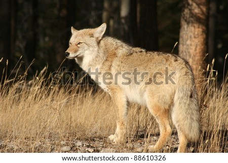 Coyote (Canis latrans) in Jasper National Park, Alberta, Canada