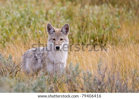 Coyote (Canis latrans) in Yellowstone National Park