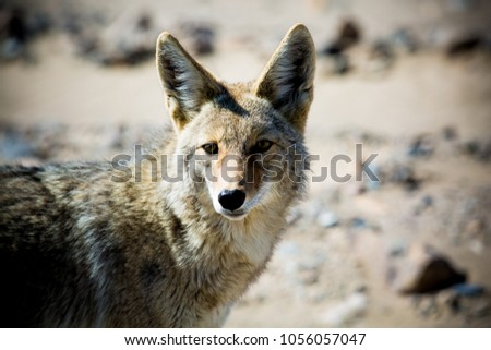 Coyote. Close up of a desert coyote, Death Valley, California, United States