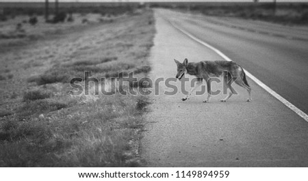 Coyote crossing the highway in New Mexico.