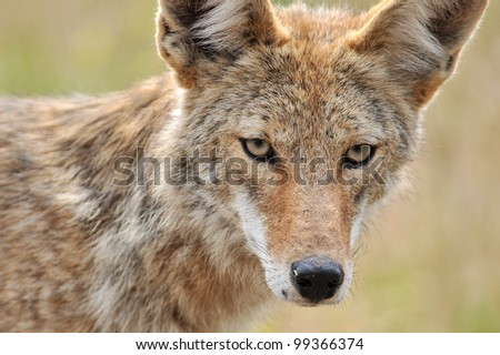 Coyote Face Closeup