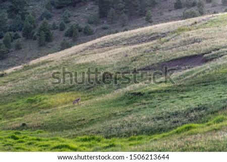 Coyote Far Away Running Across a Field In Rural Colorado