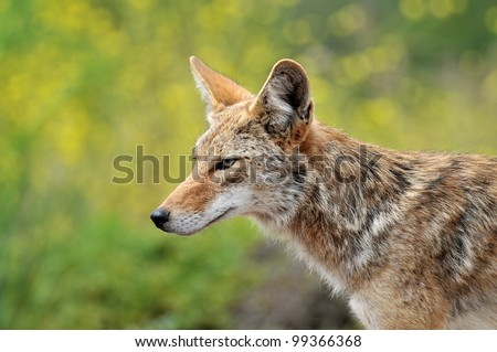 Coyote Head Profile