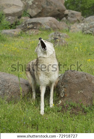 Coyote howling on a spring day with rocks and green grass