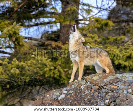 Coyote Howling to Companions